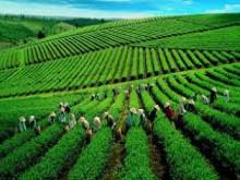 Thé du Vietnam